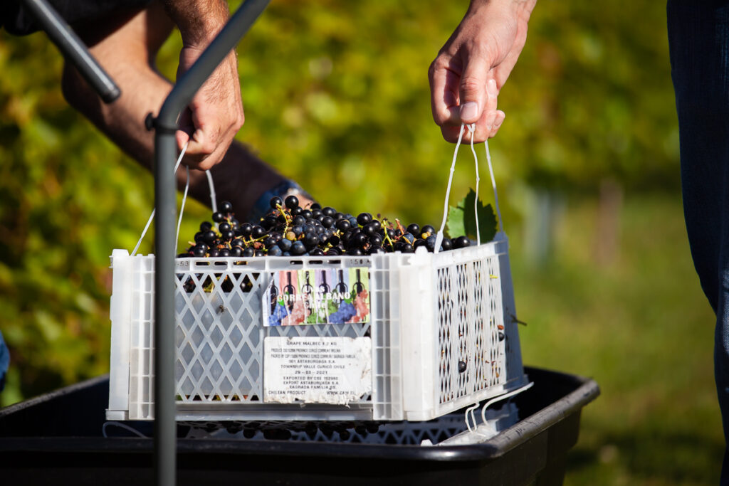 Seven Birches Red Grapes First Harvest 2