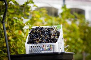 Red Grapes from RiverWalk Vineyard