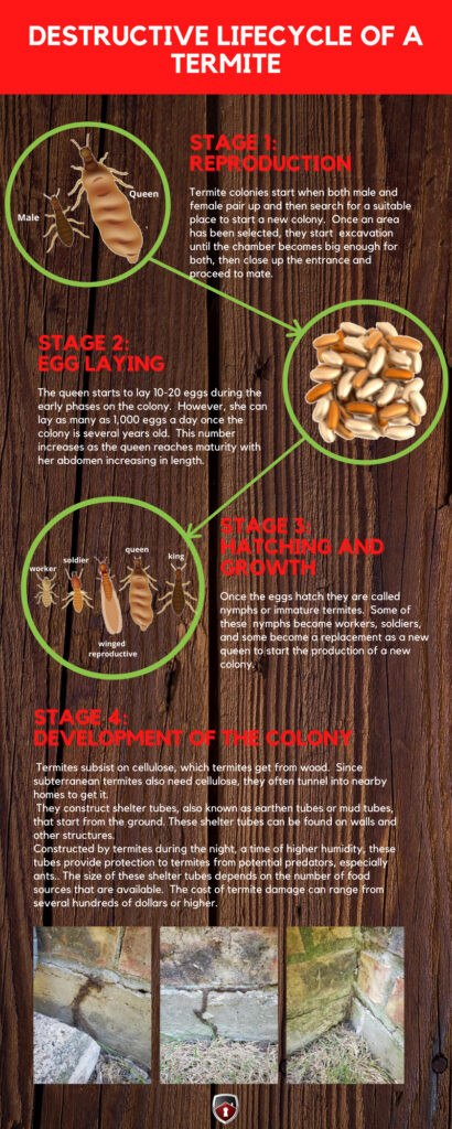 Termite Life Cycle