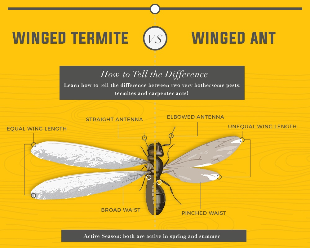 Difference between ant and termites