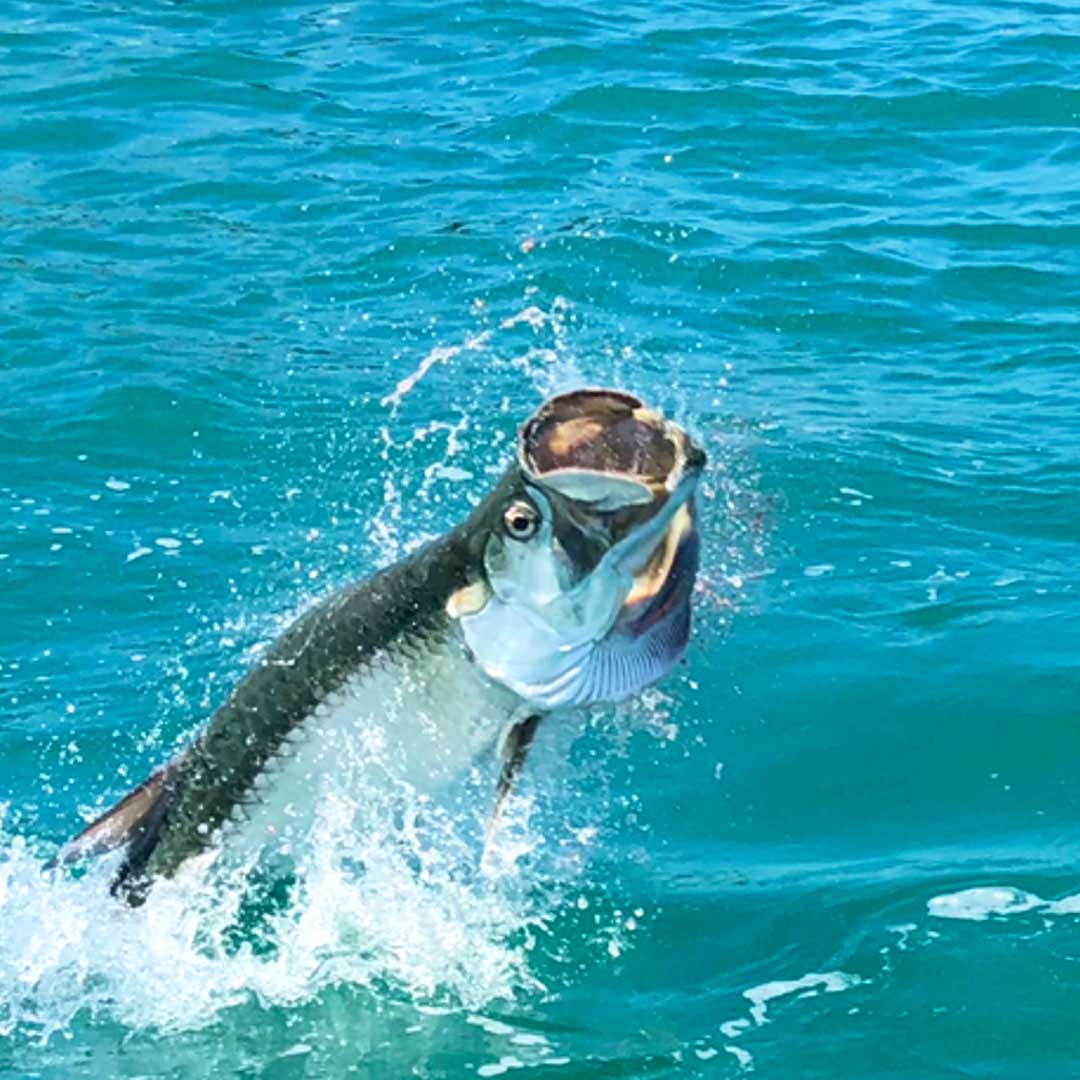 There is no mistaking a tarpon on the line when it leaps out the the water like this trying to shake the hook.