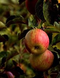 Randall Daluz Apples On Tree