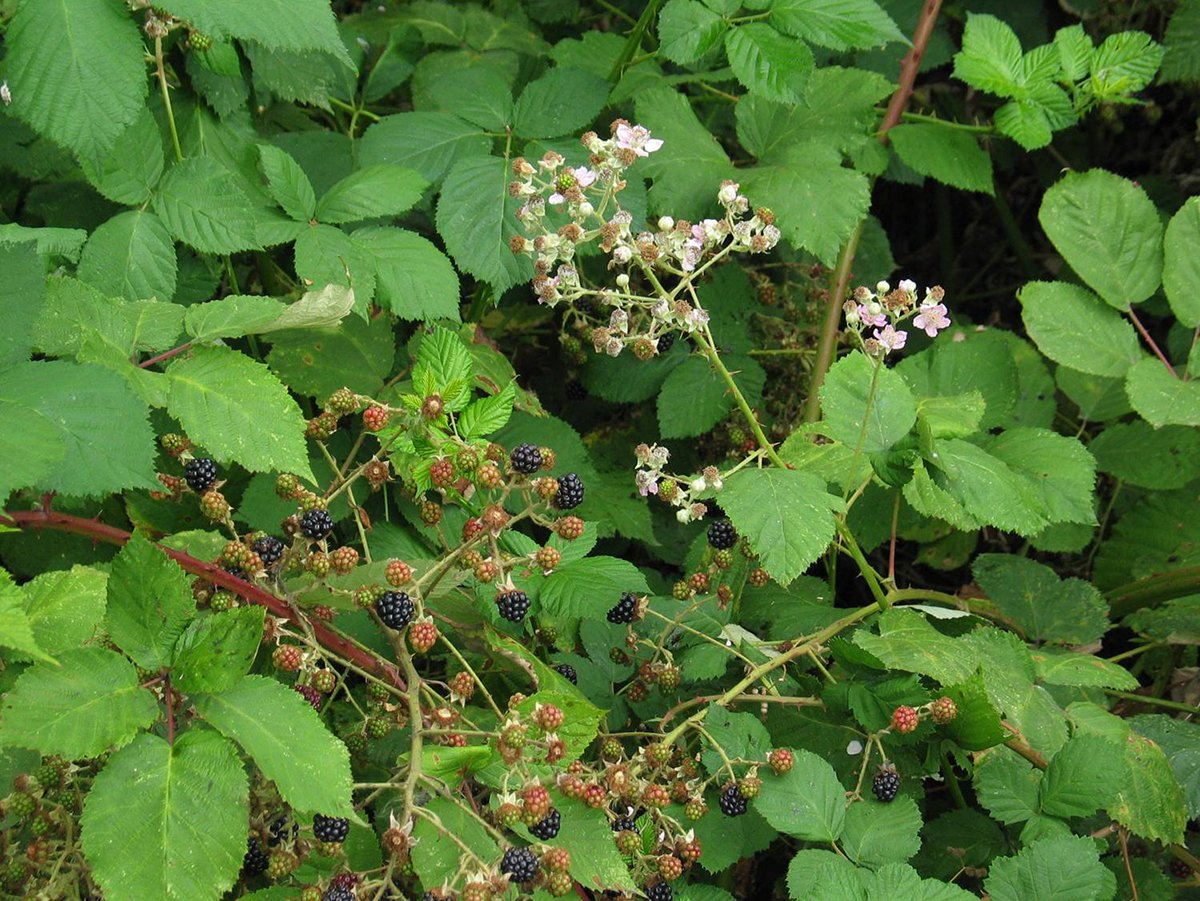 Learn to spot:  Himalayan Blackberry