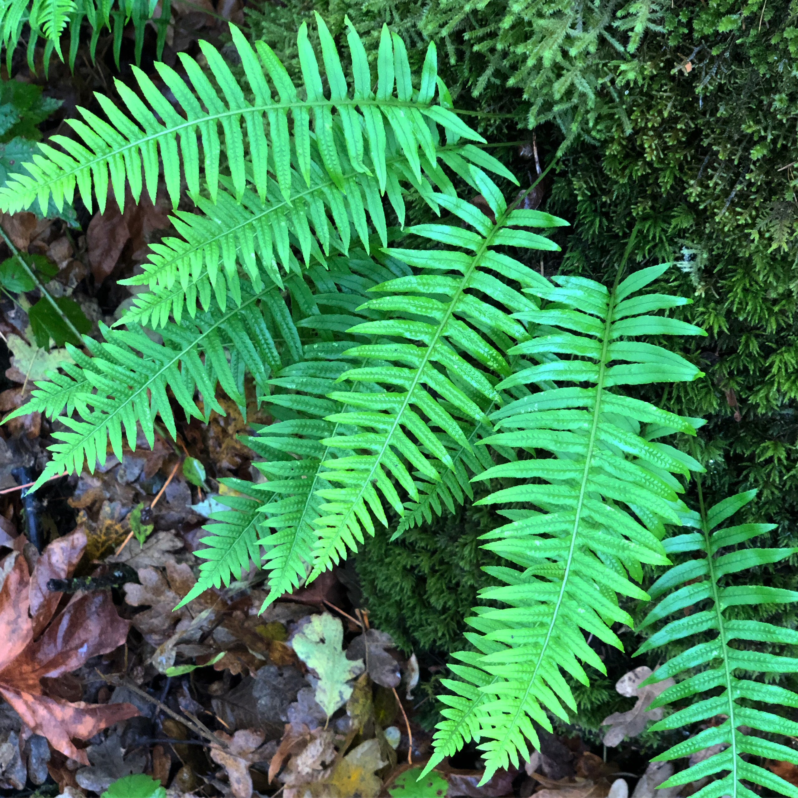 Get to know:  Licorice Fern