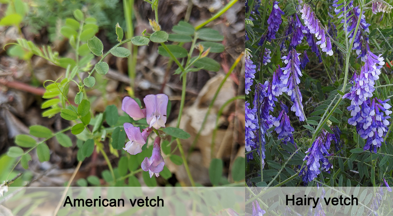 Get to know:  American Vetch