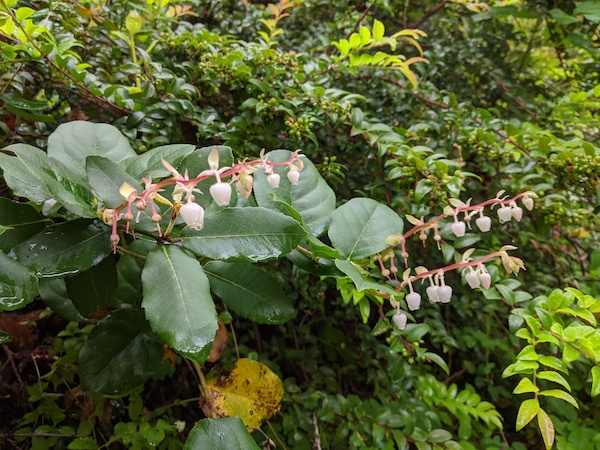Get to know: Salal