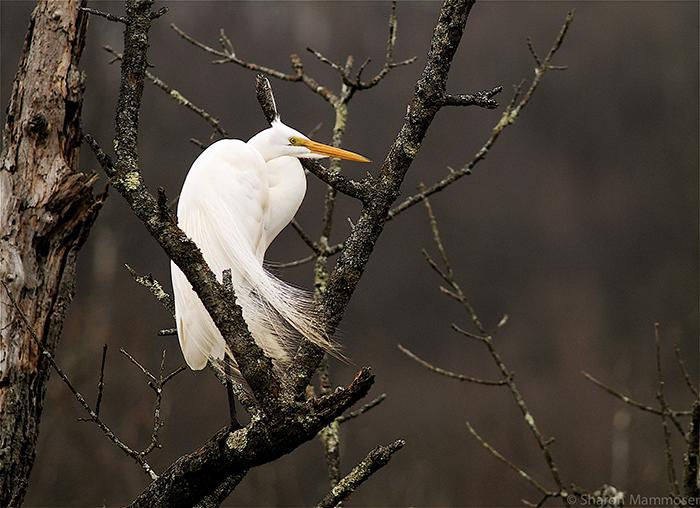 mammoser-great-swamp-heron