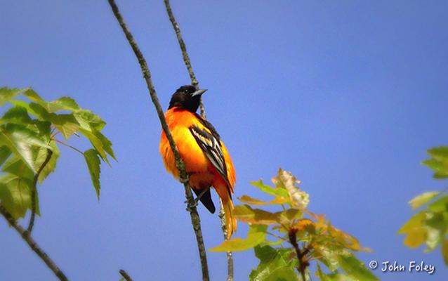 birds-of-new-york-foley