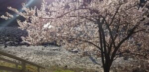 Flowering Plum by River at Swiftwater RV Park