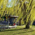 Willow Trees by Gazebo