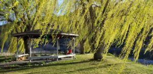 Breezy Willow Trees by Gazebo at Swiftwater RV Park