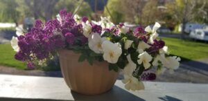 Closeup of Pansy Basket on Deck, overlooking the Park