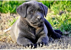red, silver, Chocolate, black, champagne lab puppies texas