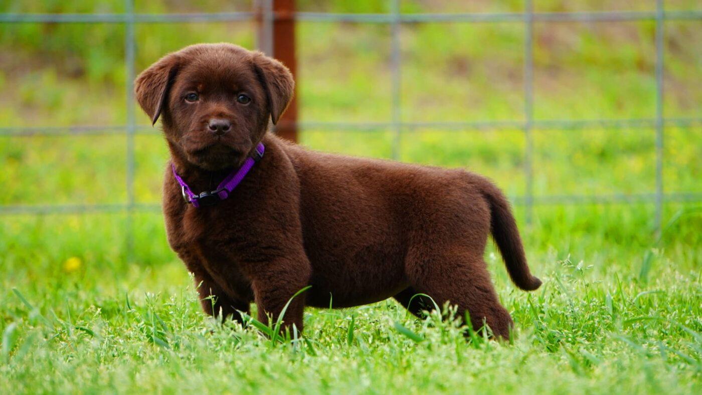 best-lab-breeder-texas-california
