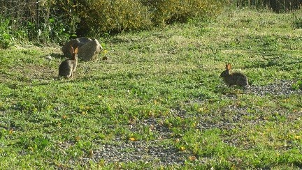 In the spring rabbits multiply like rabbits!