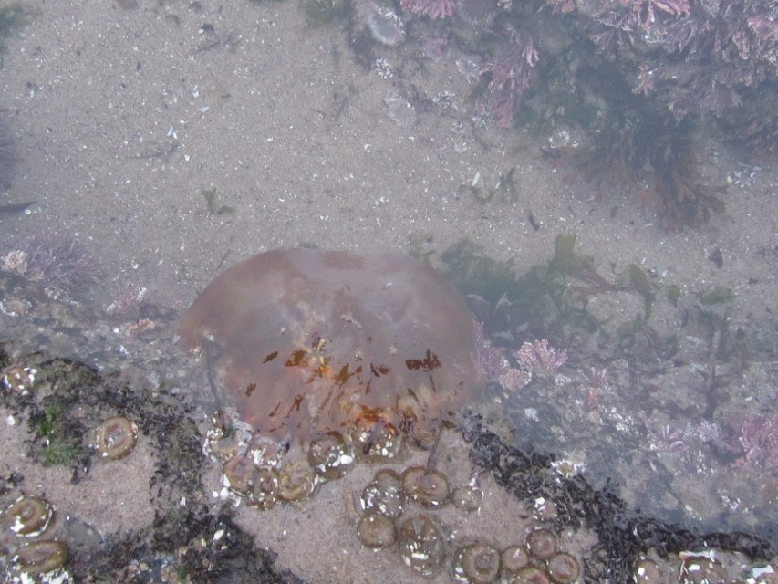 We saw our first living jelly fish in the wild.