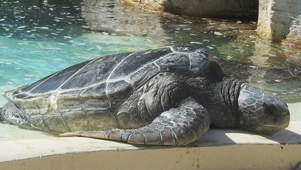 Crush is aging, and now lays around the pool rather than surfing the current.