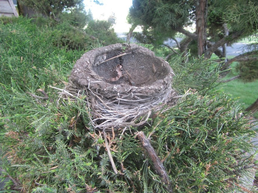 This is absolutely incredible, it is a mud based bird nest, 4′ off the ground, hanging over the down town sidewalk, unharmed by passers by. Even the kids in this town are considerate of their fellow earth creatures. This proves, there is some hint of intelligence on this planet.