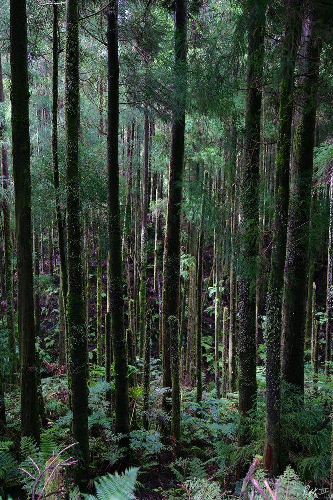 Azorean Rainforest