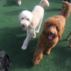 Labradoodles enjoying the outdoor play area during doggy daycare at Homedog Resort located in downtown Columbus, Ohio