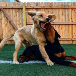 Puppies playing in the outdoor play area during doggy daycare at Homedog Resort located in downtown Columbus, Ohio's Brewery District