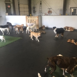 Dogs enjoying the indoor/outdoor doggy daycare play area at Homedog Resort in downtown Columbus, Ohio