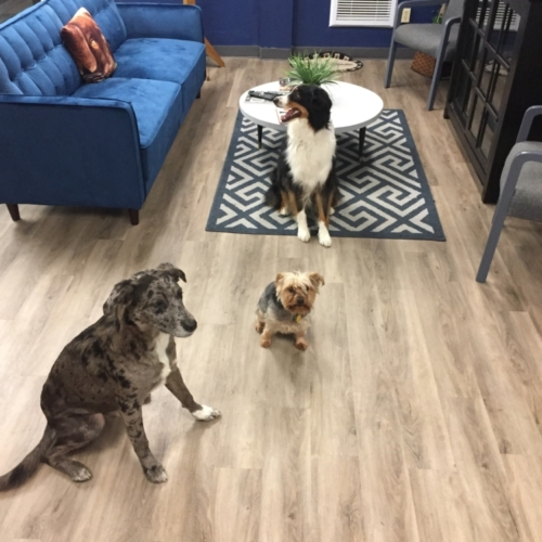 Jasper, Murphy and Lacey enjoying Cage-Free Dog Boarding in a 4x4 Guest Suite at Homedog Resort & Daycare in Columbus, Ohio