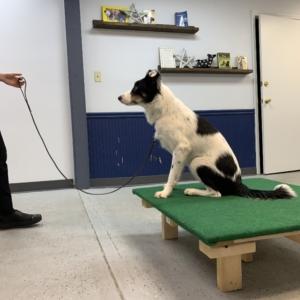 Dog Trainer training dog during board & train at Homedog Resort in Columbus Ohio