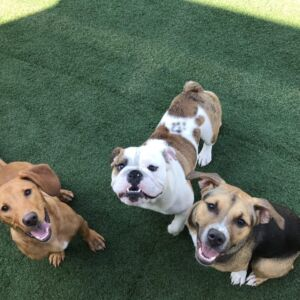 Dogs attending Dog Training lessons while at Doggy Daycare at Homedog Resort and Daycare in downtown Columbus, Ohio