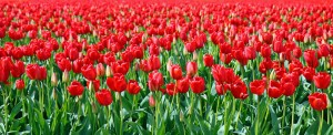 State of Washington Red Tulips