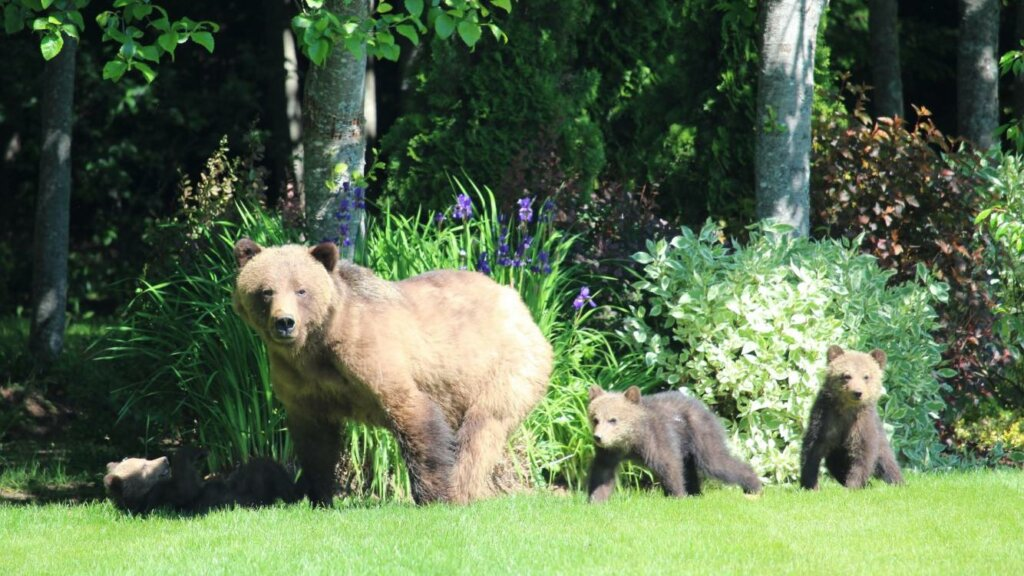 Bear family hiking in Kitimat