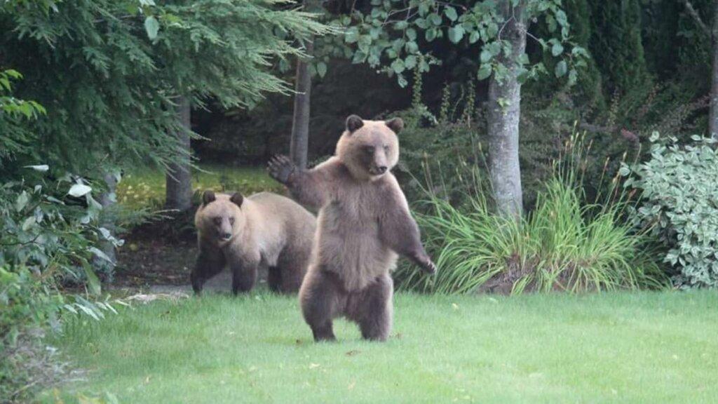 Grizzlies on Hirsch Creek Trail