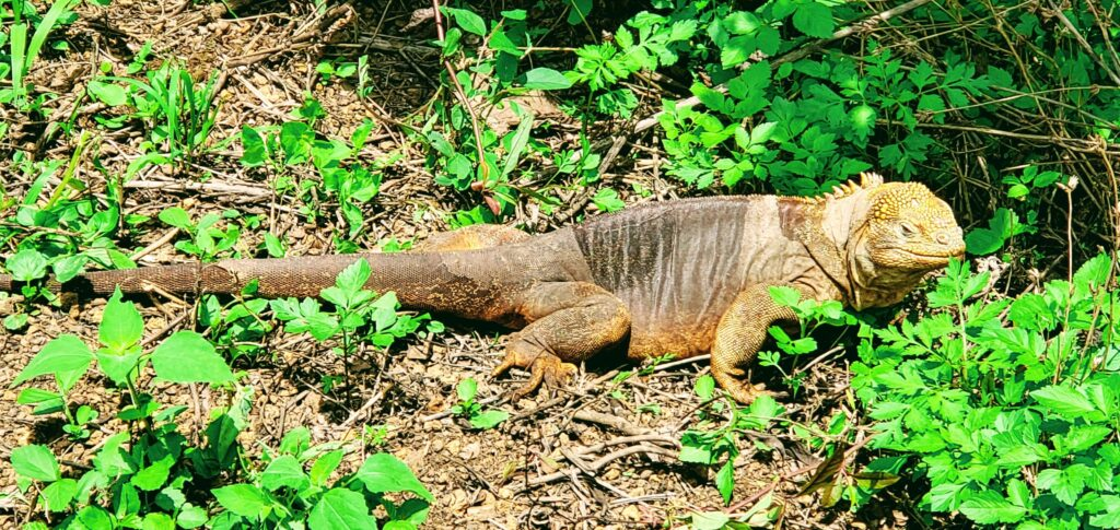 Galapagos land iguana is always on a budget as he walks around freely in the Sierra Negro lands