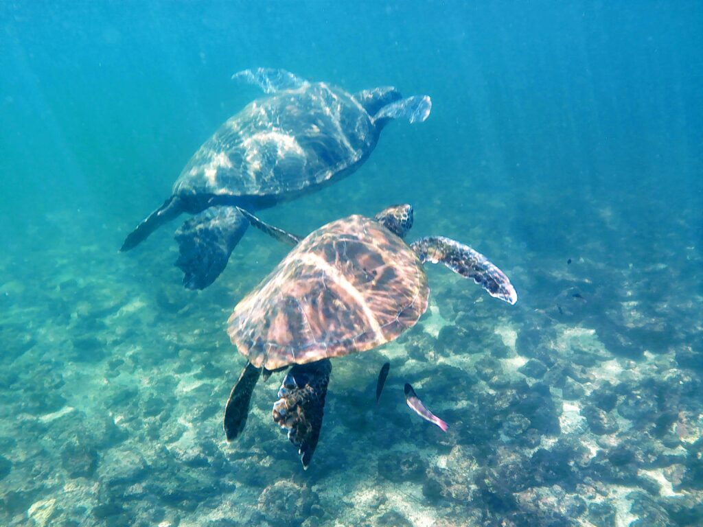 Galapagos Turtles swimming in the bays of Isabela is on a budget