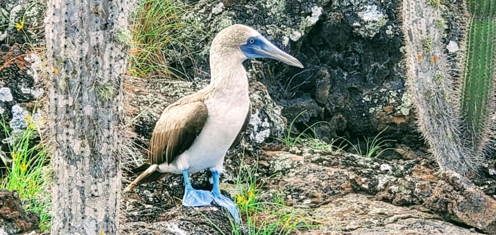 Galapagos on a budget allows you to see many blue footed boobies for free