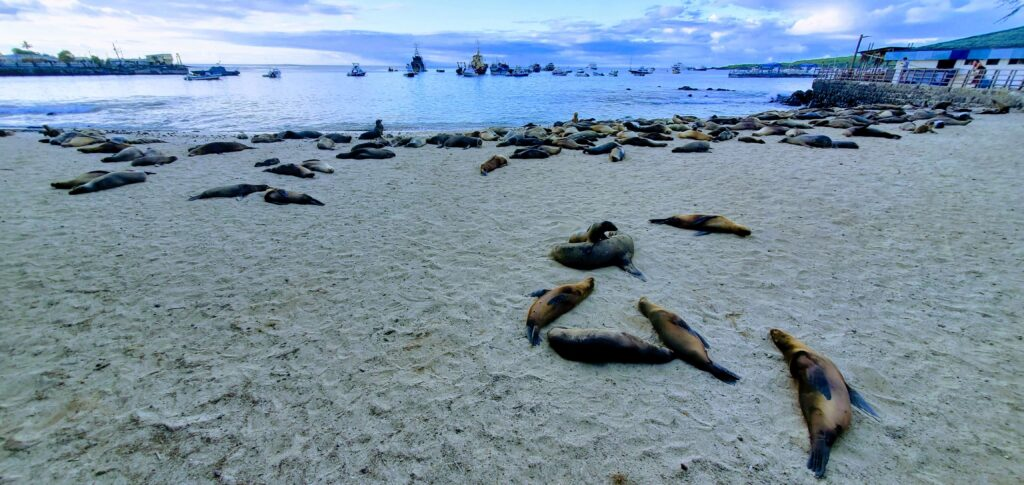 Playa Loberia Galapagos is a opportunity to sea seals on any budget as it is free to walk to and enter