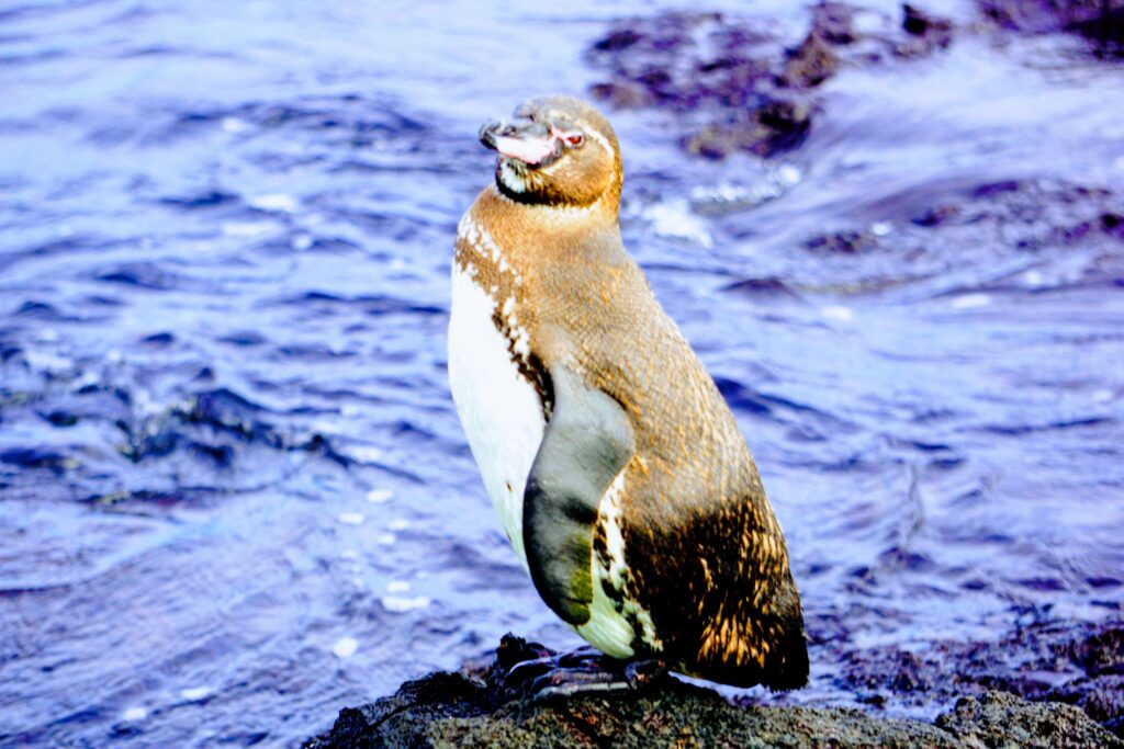 Galapagos Penguin can be seen on any budget