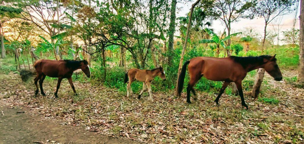 Horses - affordable paradise on Ometepe