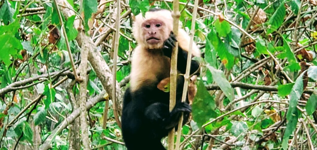 Hiking with Capuchin Monkeys - Affordable Paradise on Ometepe