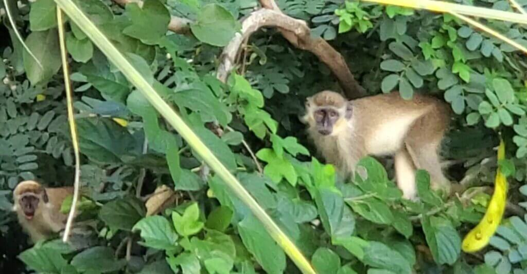 Living in Barbados is all about the green monkeys