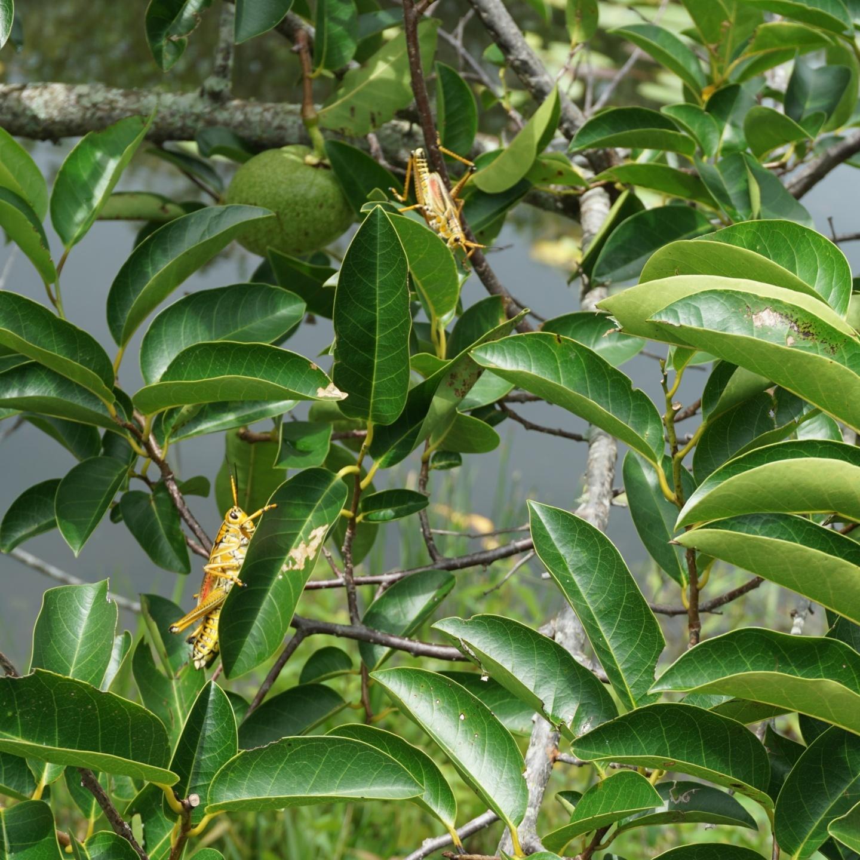 Florida Everglades Grasshoppers