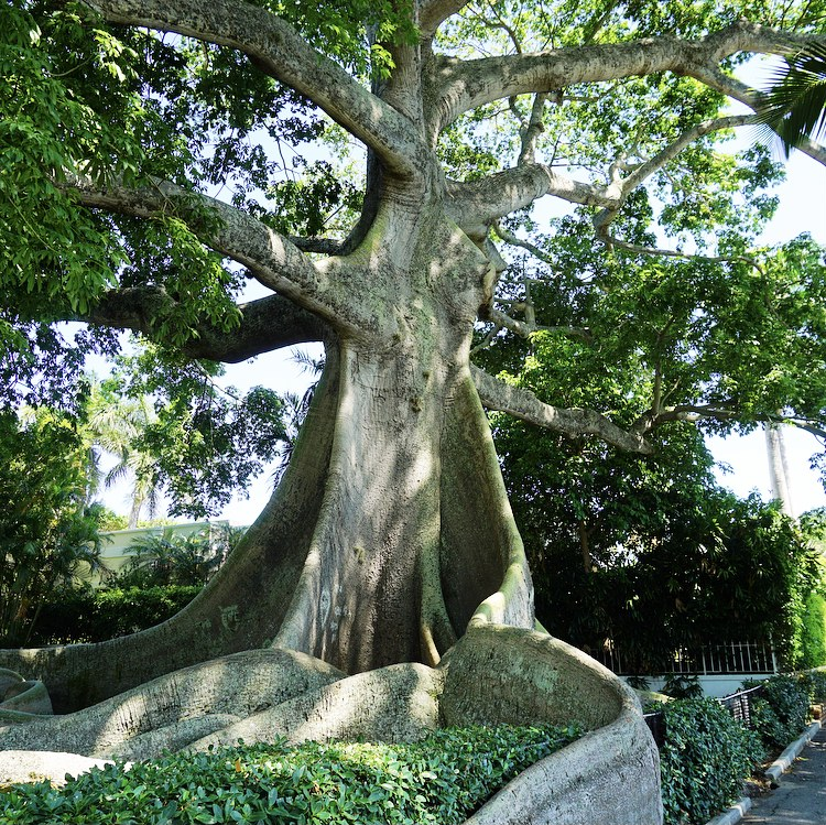 Giant Kapok Tree