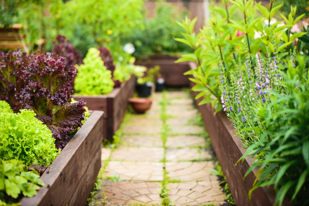vegetable garden with raised beds focus foreground