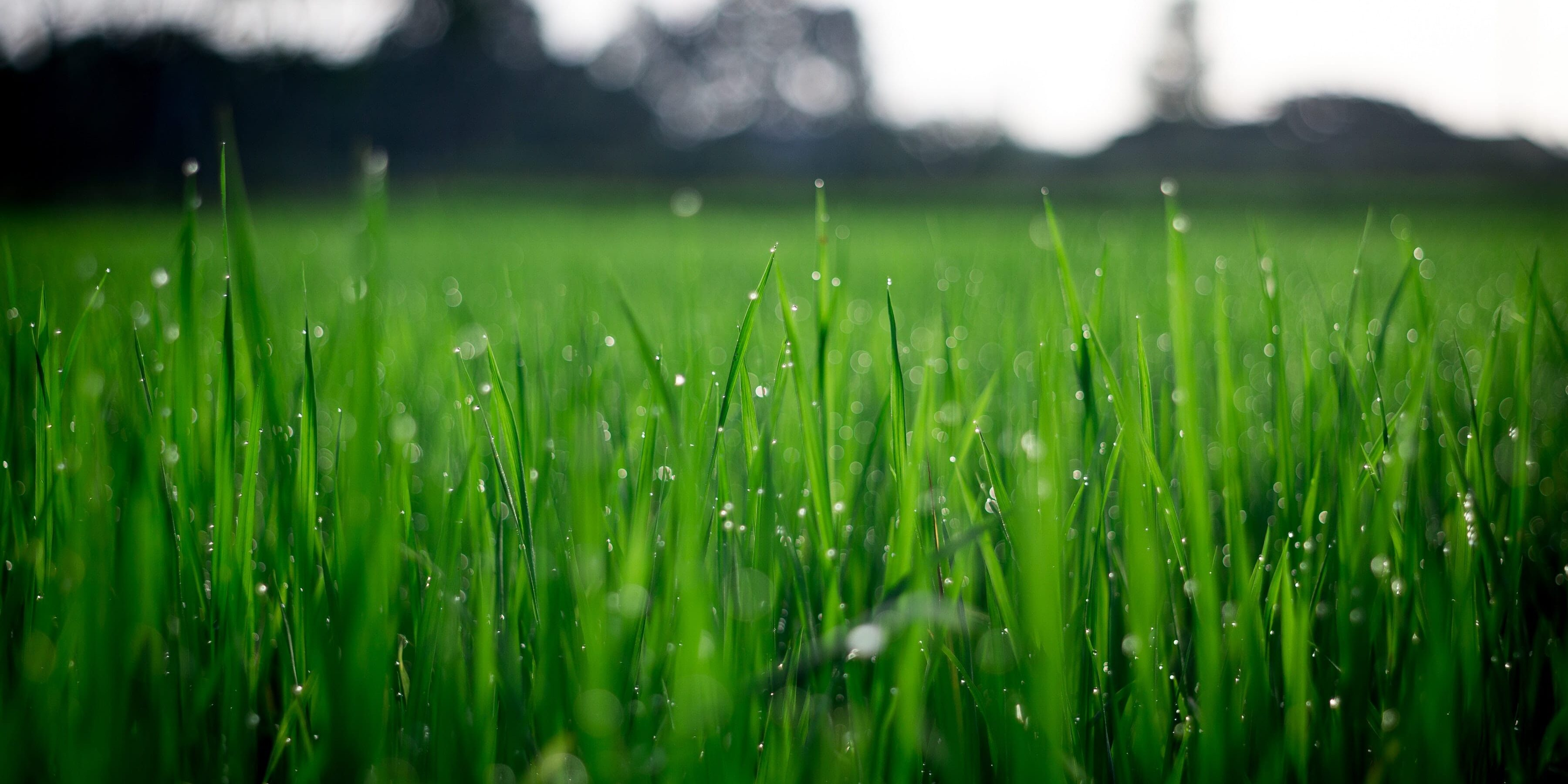 Dew-wet grass