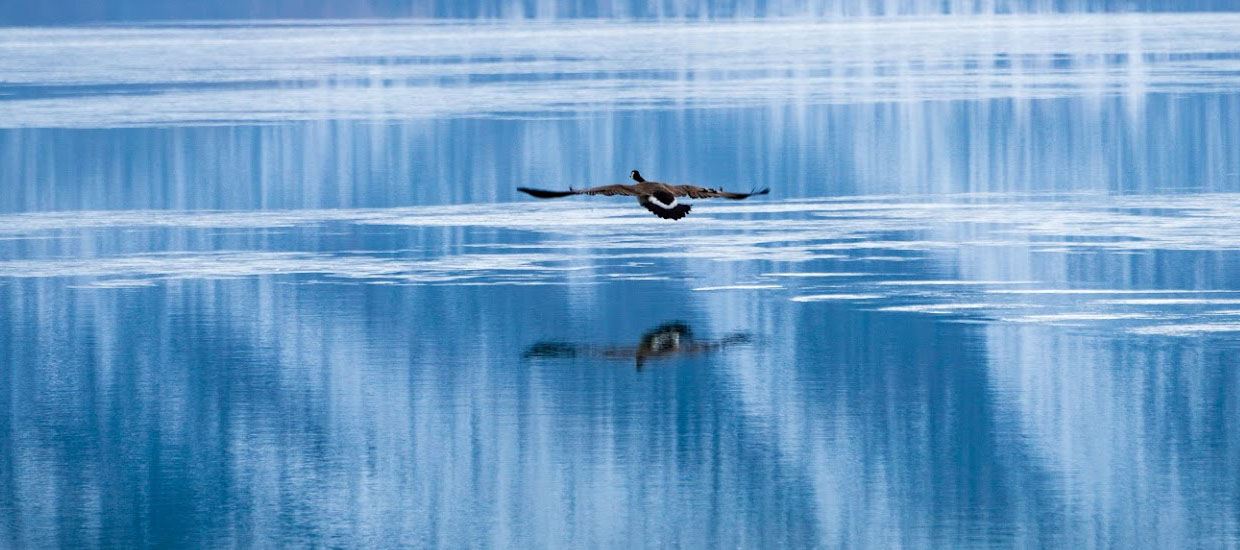 Goose flying over Bear Lake in the Spring