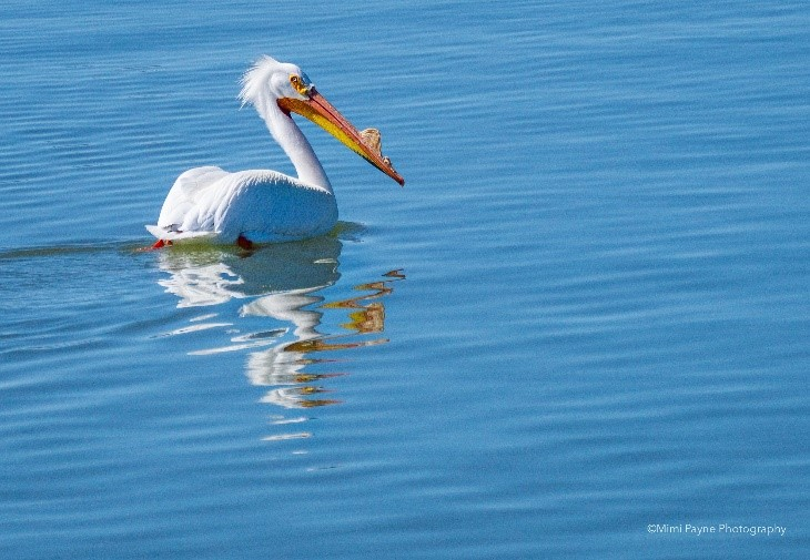 White Pelican at the Bear Lake Wildlife Refuge