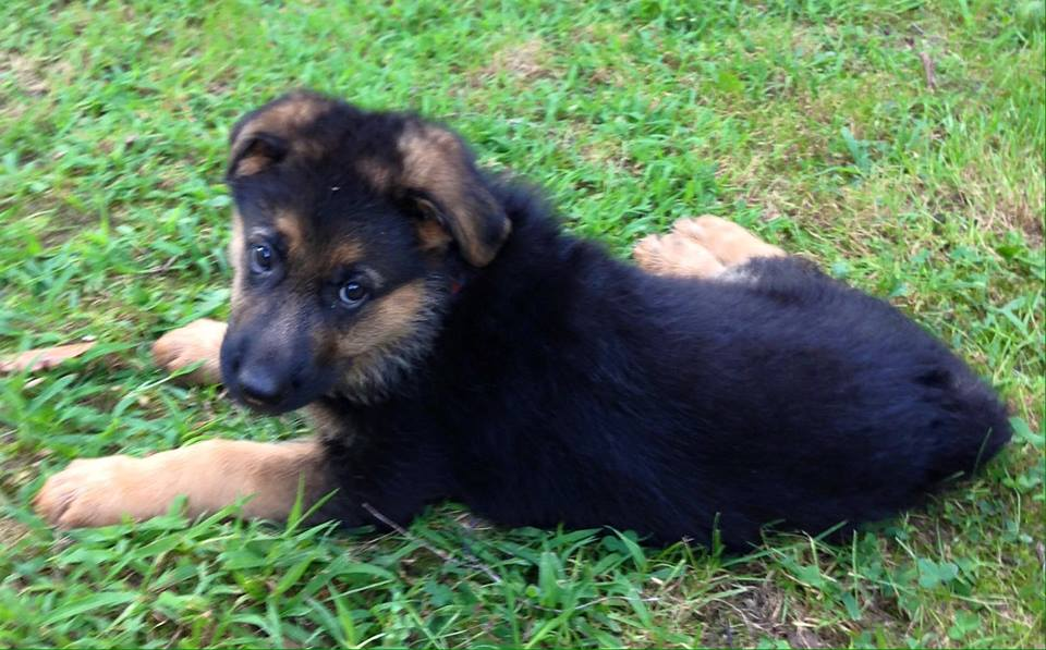 German Shepherd New Born Puppies For Sale in Wisconsin