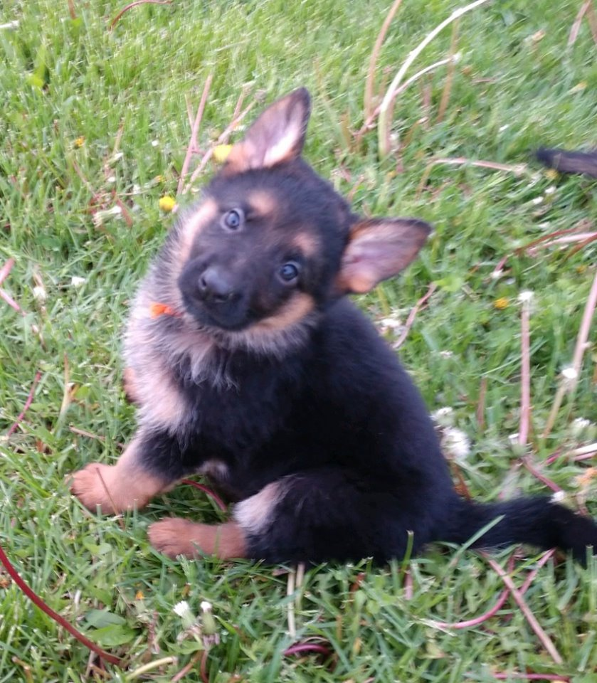 German Shepherd Puppies Wisconsin
