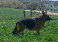 German Shepherd Puppies Available Madison Wisconsin