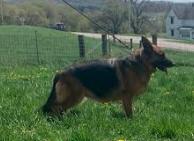 German Shepherd Puppies Available Madison Wisconsin